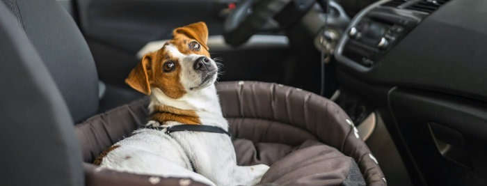 Jack Russell Terrier in car when moving house
